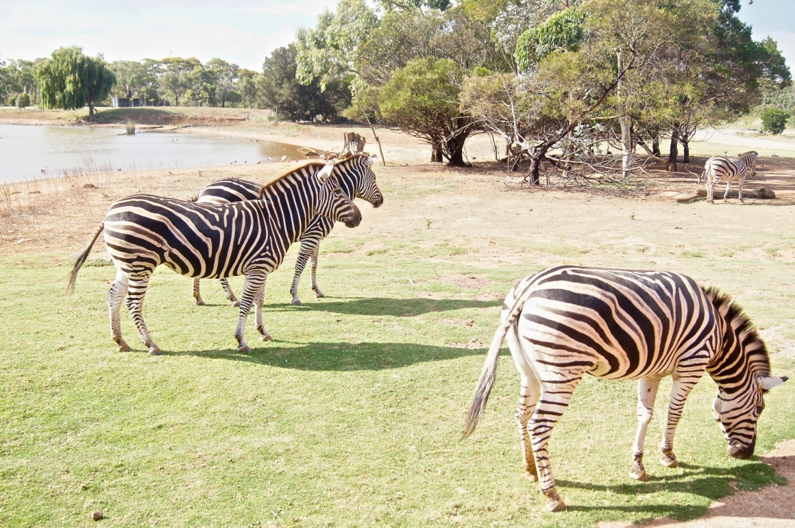 Zebras Werribee Open Range Zoo - Copyright