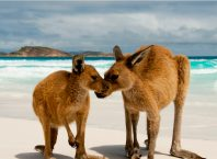 Kangaroos at Lucky Bay WA Western Australia Ultimate Australian Bucket List